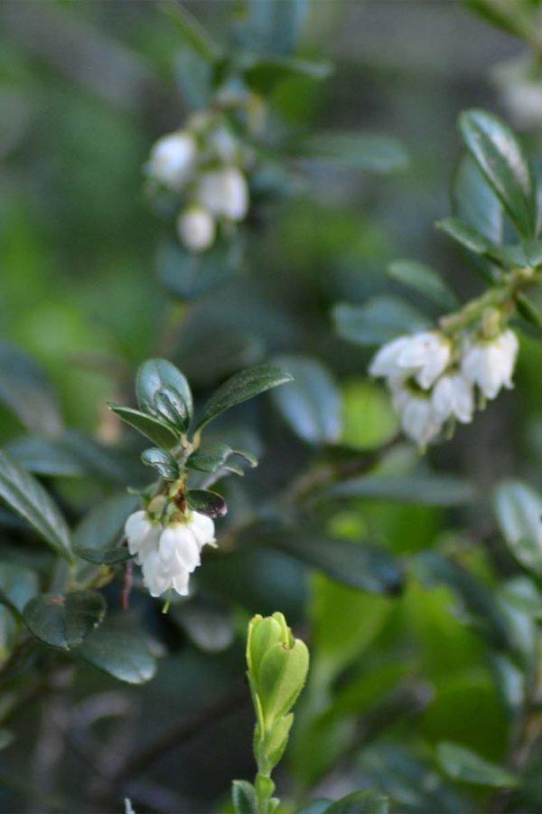 Fiore di rosa alpina e ginepro.JPG_0001_Eidechsspitze con molla d'inchiostro bianco 2