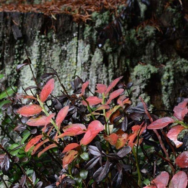 Regentropfen auf Herbstgras 2_0001_Blaubeerblätter